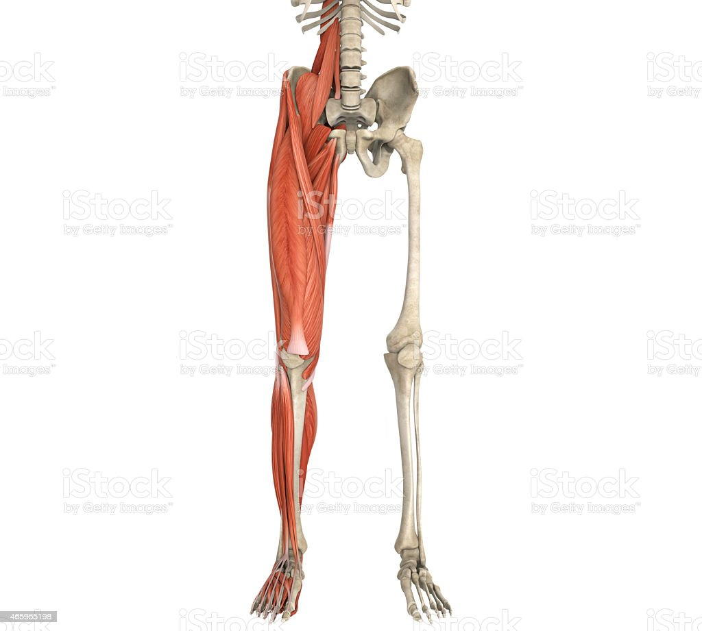 Legs Muscles Anatomy stock photo