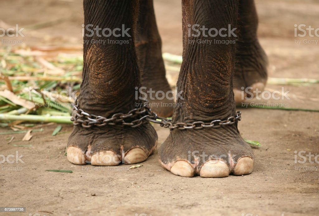 Legs of the elephant prisoner by a circuit royalty-free stock photo