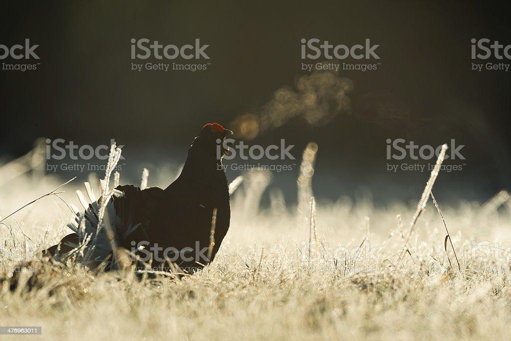 Lekking Black Grouse stock photo