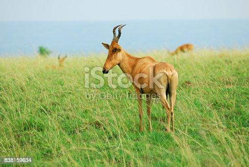 Antelope Lelwel Hartebeest (Alcelaphus buselaphus lelwel), also known as Jackson's hartebeest in the Murchison Falls national park, Uganda, Africa