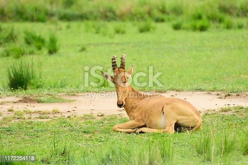 A Lelwel Hartebeest looks back at the camera as it rests on the grassland of Murchison Falls National Park