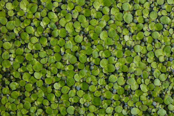 lemna minor, overgrows ponds, close up, view from above - bioremediation stock photos and pictures