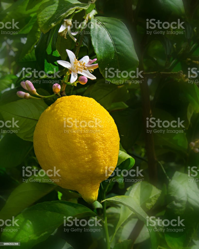 Lemon and flowers isolated on white background - Стоковые фото Без людей роялти-фри