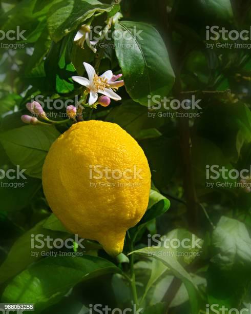 Лимон И Цветы Изолированы На Белом Фоне — стоковые фотографии и другие картинки Без людей