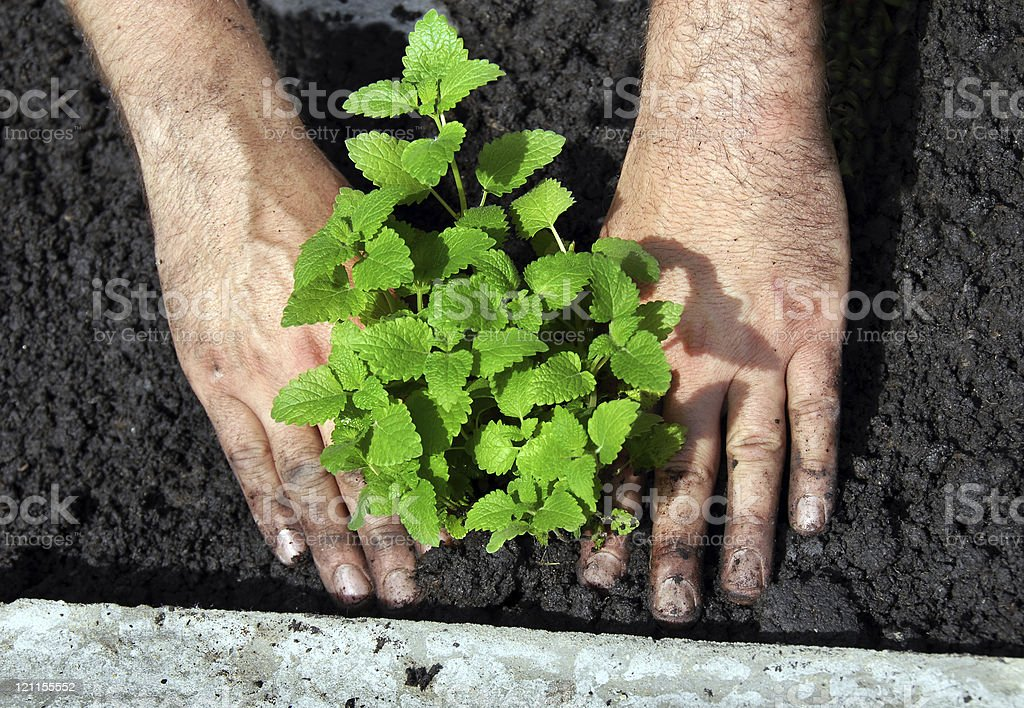 Lemon balm plant being planted outside stock photo
