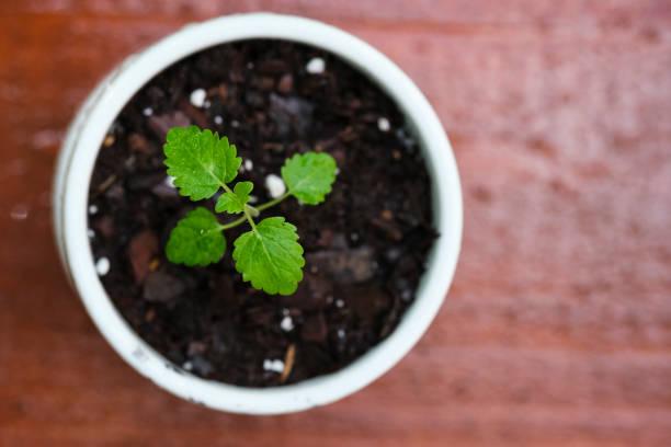 Lemon Balm Seedling in a Small White Pot stock photo