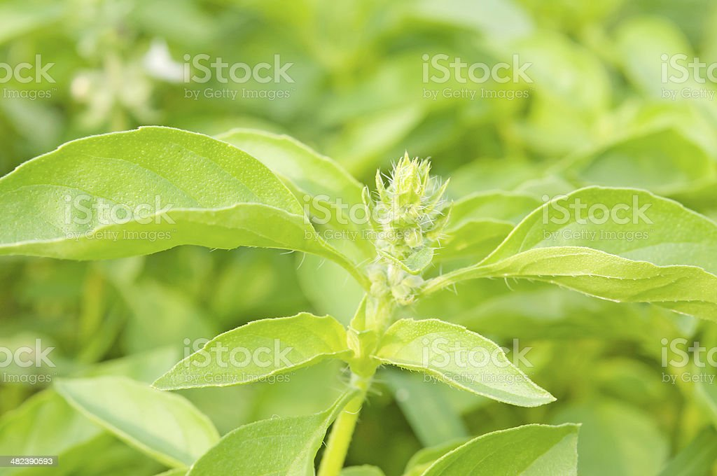 lemon basil royalty-free stock photo