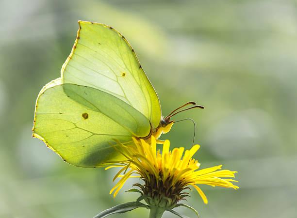 Lemon butterfly stock photo