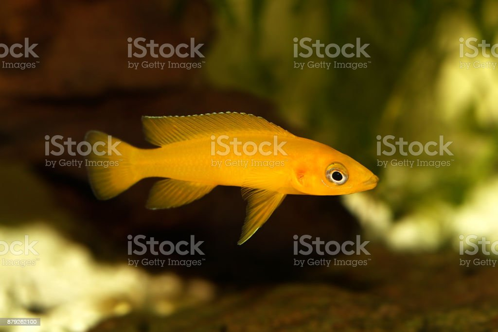 Lemon cichlid Neolamprologus leleupi yellow aquarium fish stock photo