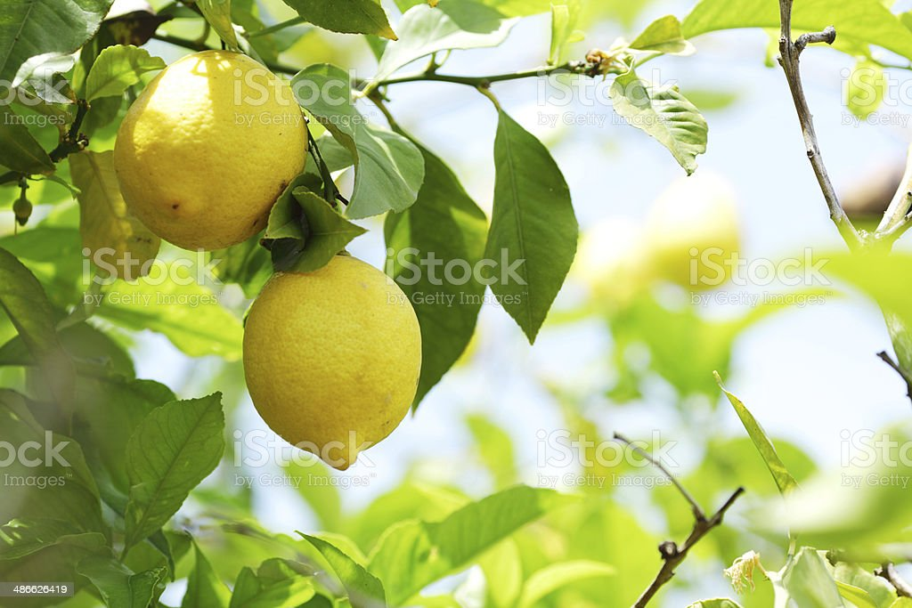 Lemon close up stock photo