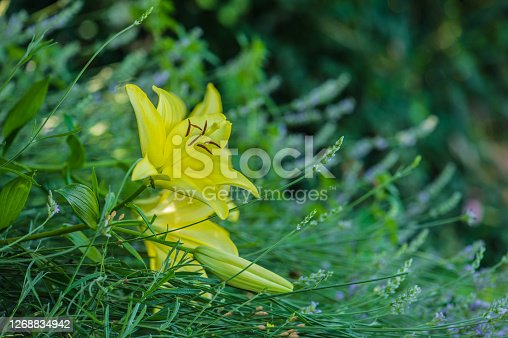 Lemon Day Lily Blooming in Ornamental Garden