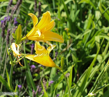 Hemerocallis lilioasphodelus  or Hemerocallis flava, known as lemon daylily, lemon lily, yellow daylily