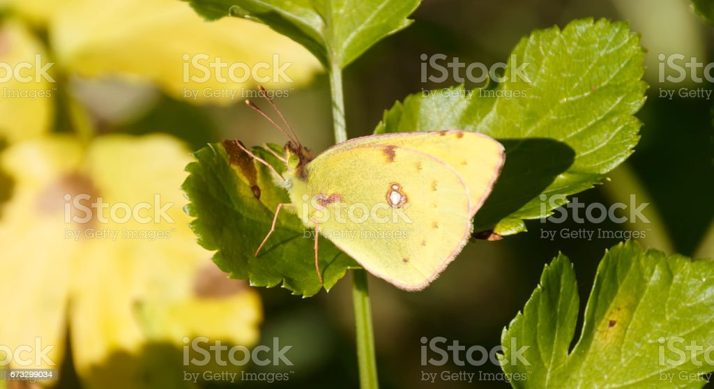 Lemon Emigrant butterfly in nature royalty-free stock photo