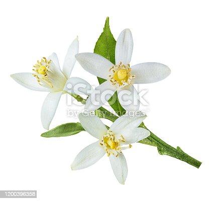 lemon flower isolated on white background