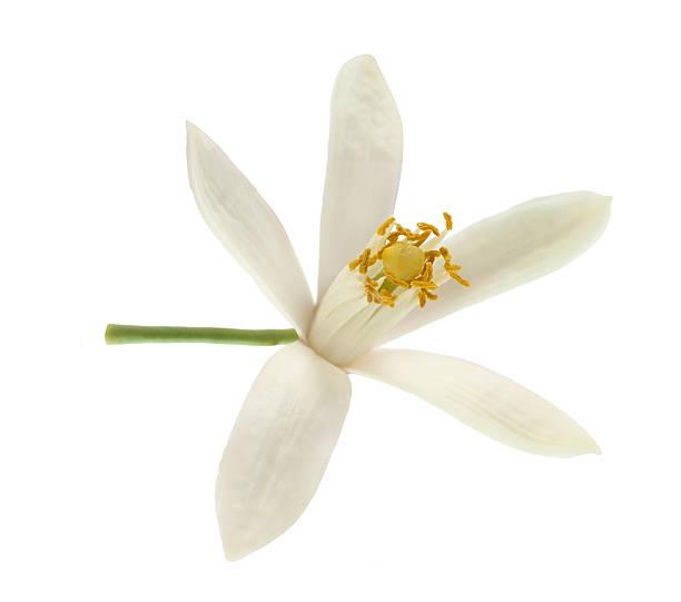Lemon flower picture id494786910?b=1&k=6&m=494786910&s=612x612&w=0&h=hvf1hiu3vfpgriz  mjawvok9oyszcykmsnlwx19  y=