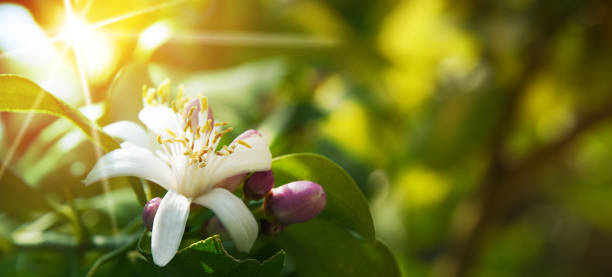 Lemon flowers stock photo
