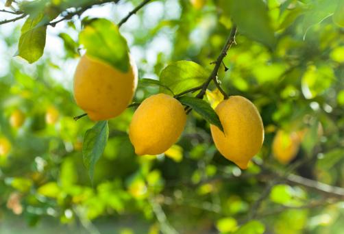 Lemon fruits in orchard