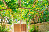 Lemon garden of Sorrento