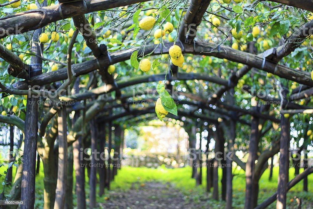 Lemon garden stock photo