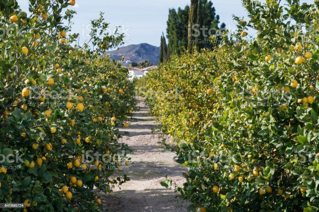 Lemon grove - foto de stock