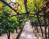 Lemon Grove, Sorrento