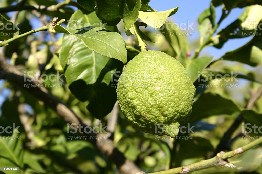 Lemon Growing on Tree royalty-free stock photo