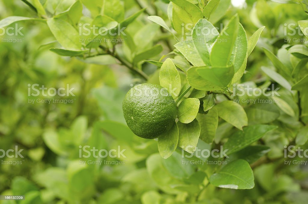 lemon hanging on tree royalty-free stock photo