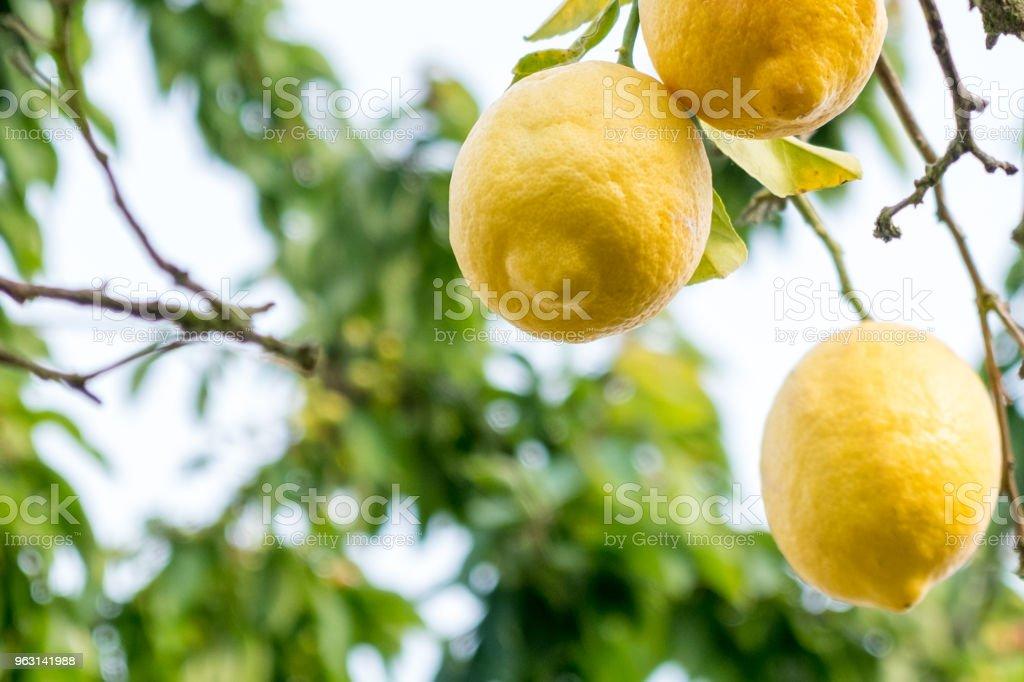 Zitrone im Obstgarten – Foto