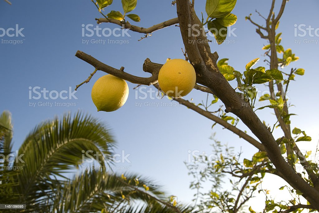 lemon in the provence,france royalty-free stock photo