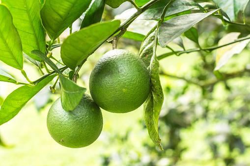 istock Lemon leaf on green background. 1084298116