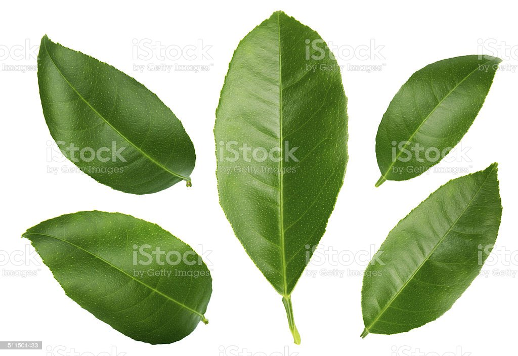Lemon leaves isolated on a white background stock photo