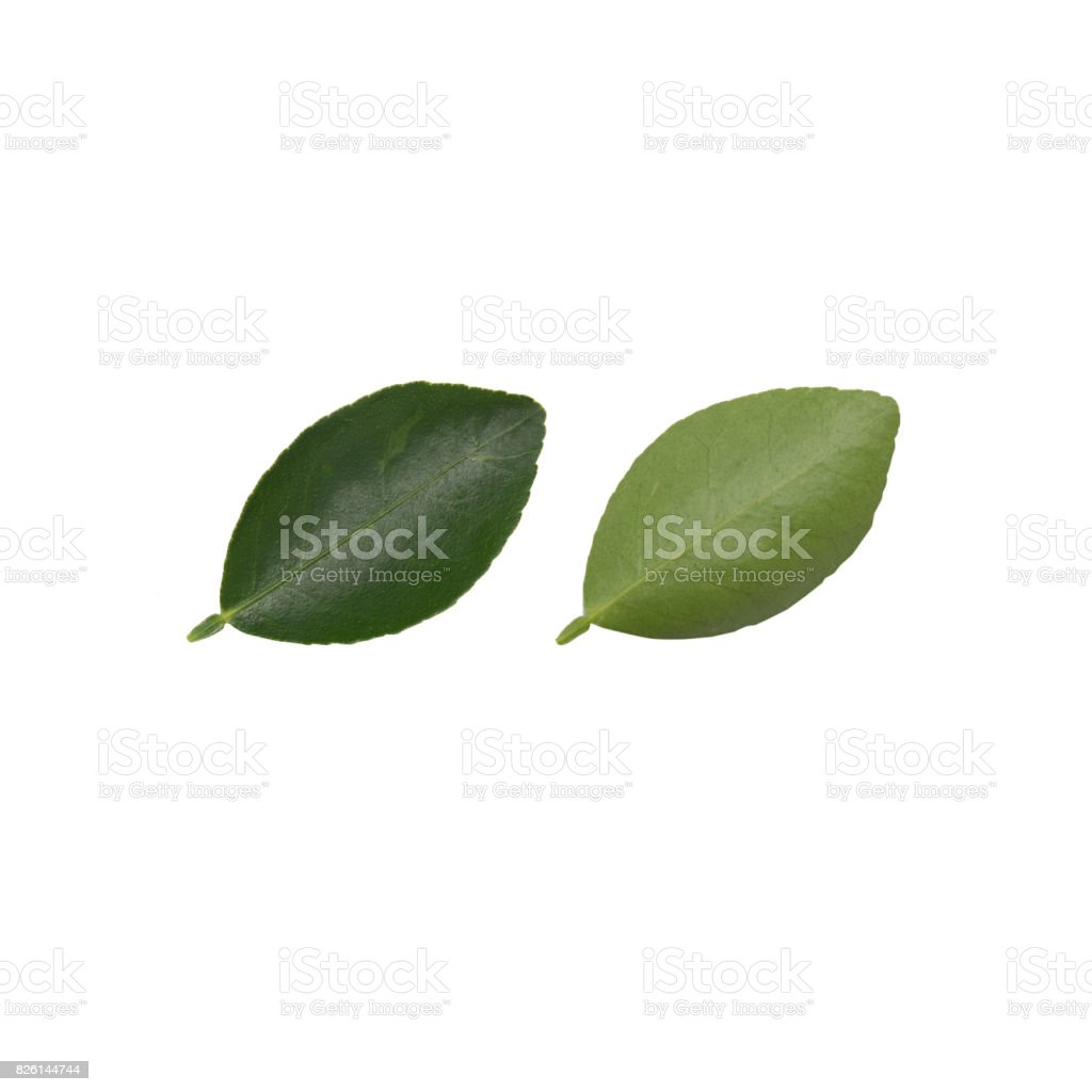 lemon leaves  on a white background stock photo