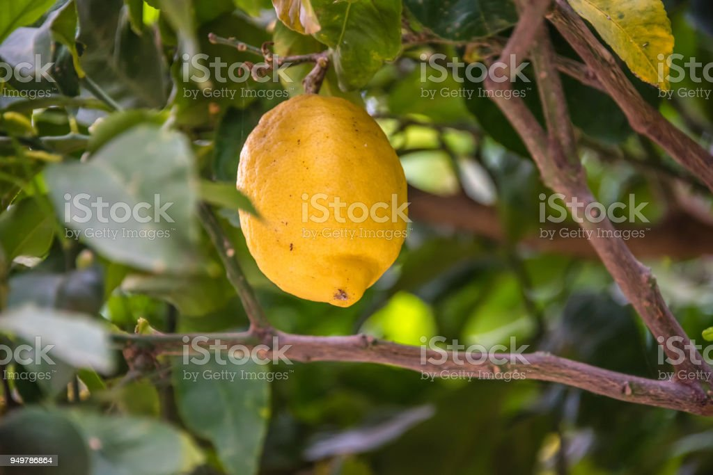 Lemon on a Lemon Tree stock photo