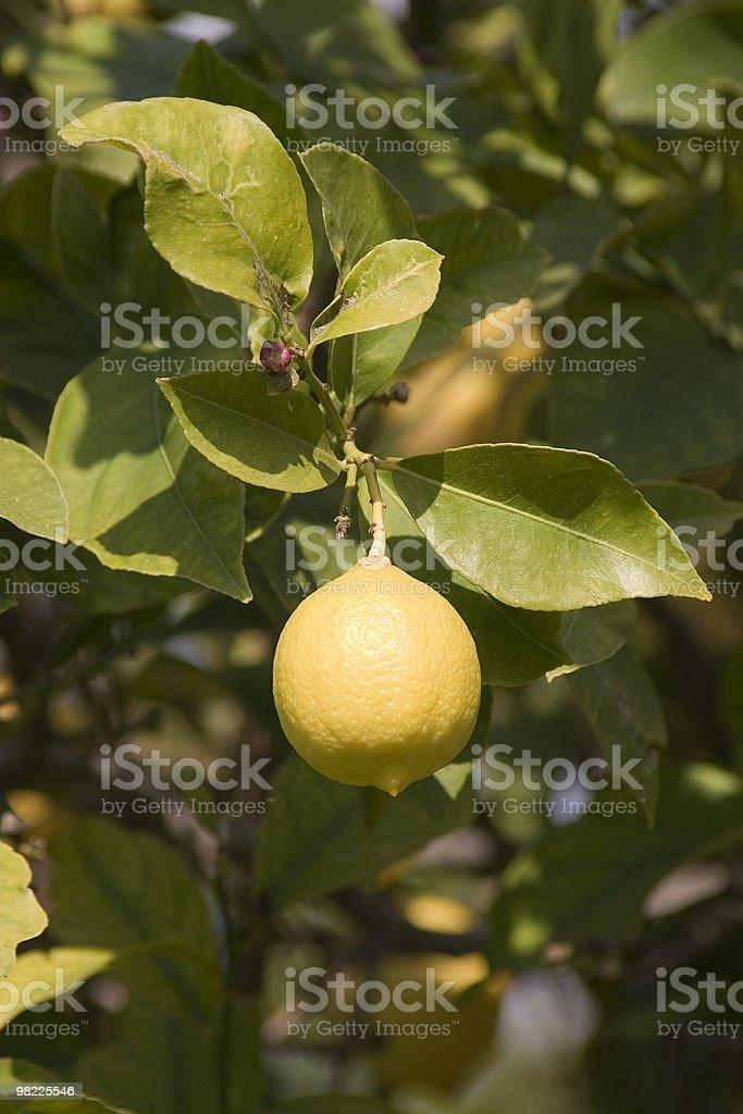 Lemon on a tree royalty-free stock photo