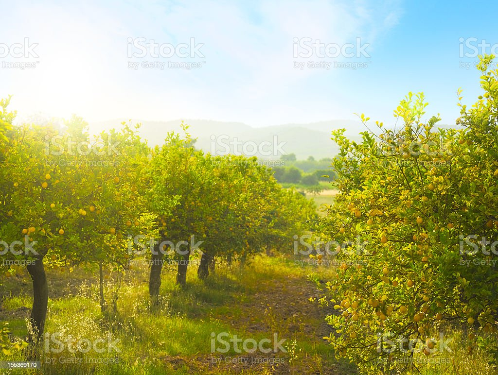 Lemon orchard royalty-free stock photo