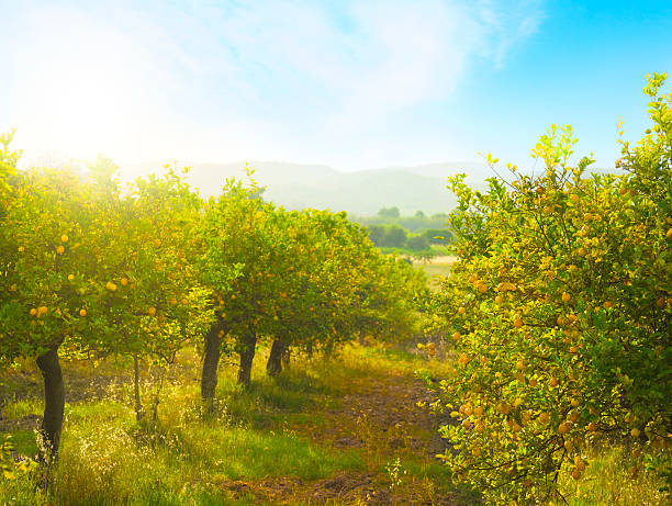 lemon orchard - obstgarten stock-fotos und bilder