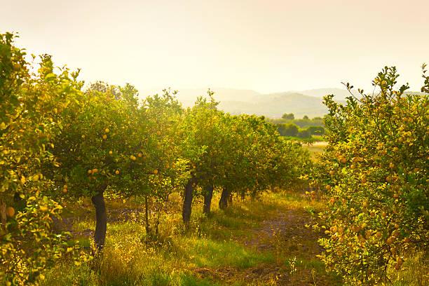 frutteto di limone - frutteto foto e immagini stock