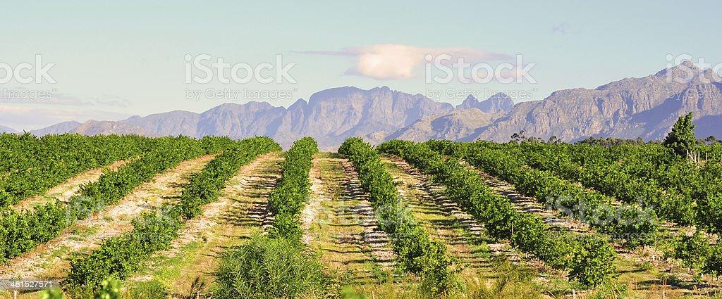Limón orchard - foto de stock