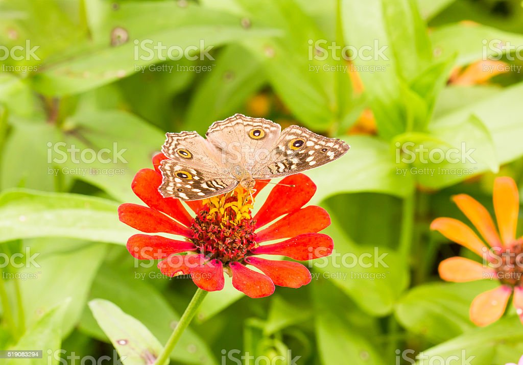 Lemon Pansy butterfly on a mexican sunflower stock photo