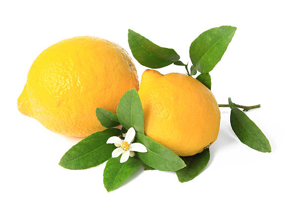 Lemon (Citrus x limon) – Foto