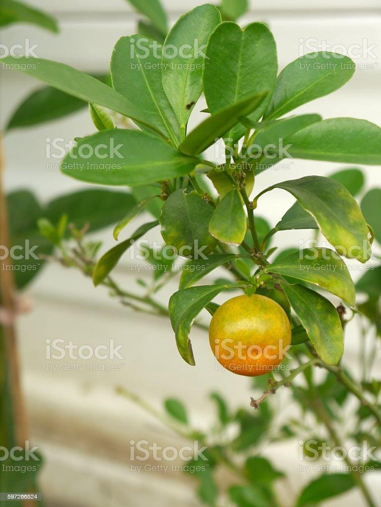 - Zitrone  Lizenzfreies stock-foto