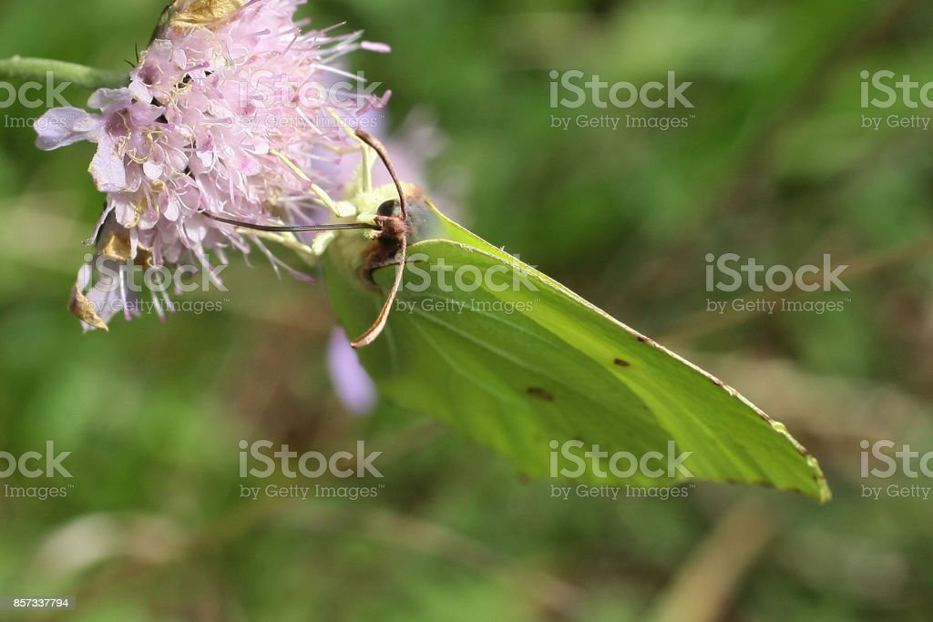 Citron (Gonepteryx rhamni) stock photo