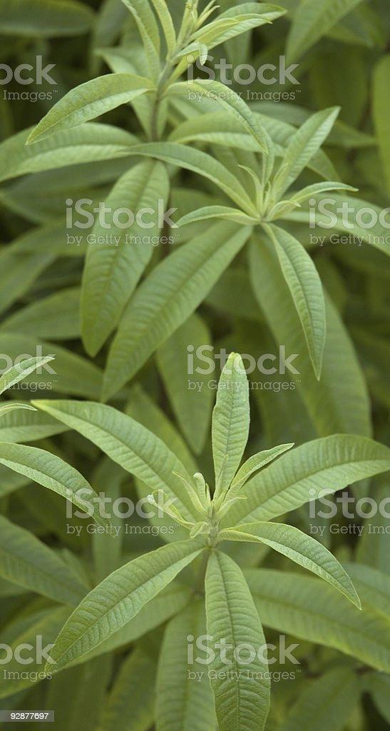 Lemon Scented Verbena royalty-free stock photo