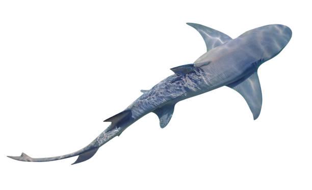 tiburón limón aislado - shark fotografías e imágenes de stock