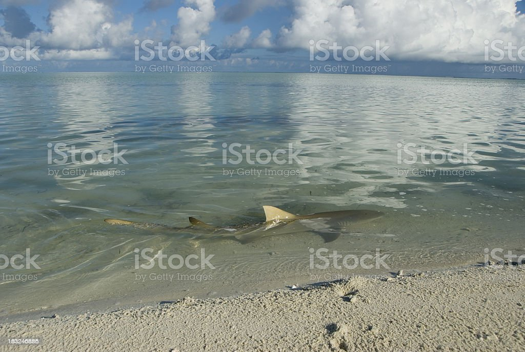 lemon shark patrols the seashore stock photo