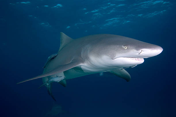Lemon Shark stock photo