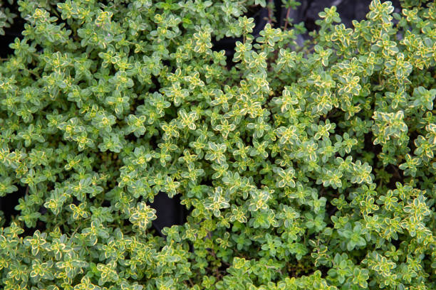 Lemon thyme is an aromatic plant. stock photo