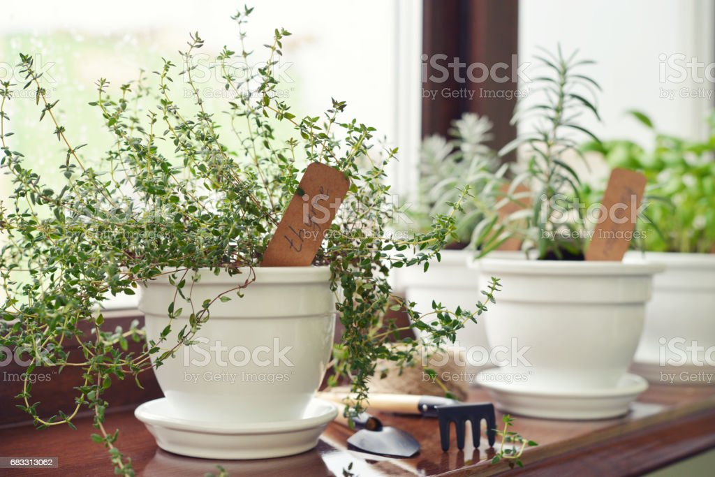 Lemon thyme plant foto stock royalty-free