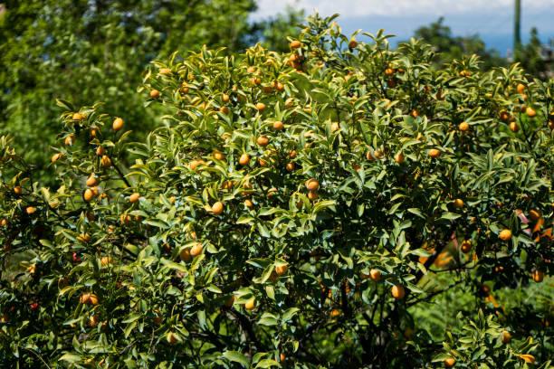 Lemon Tree closeup – Foto