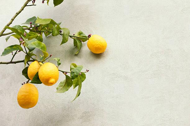 Zitronenbaum. Farbe – Foto